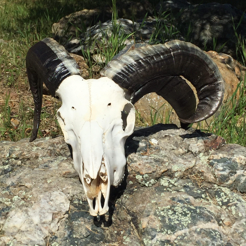 Three-Horned Ram Skull 01