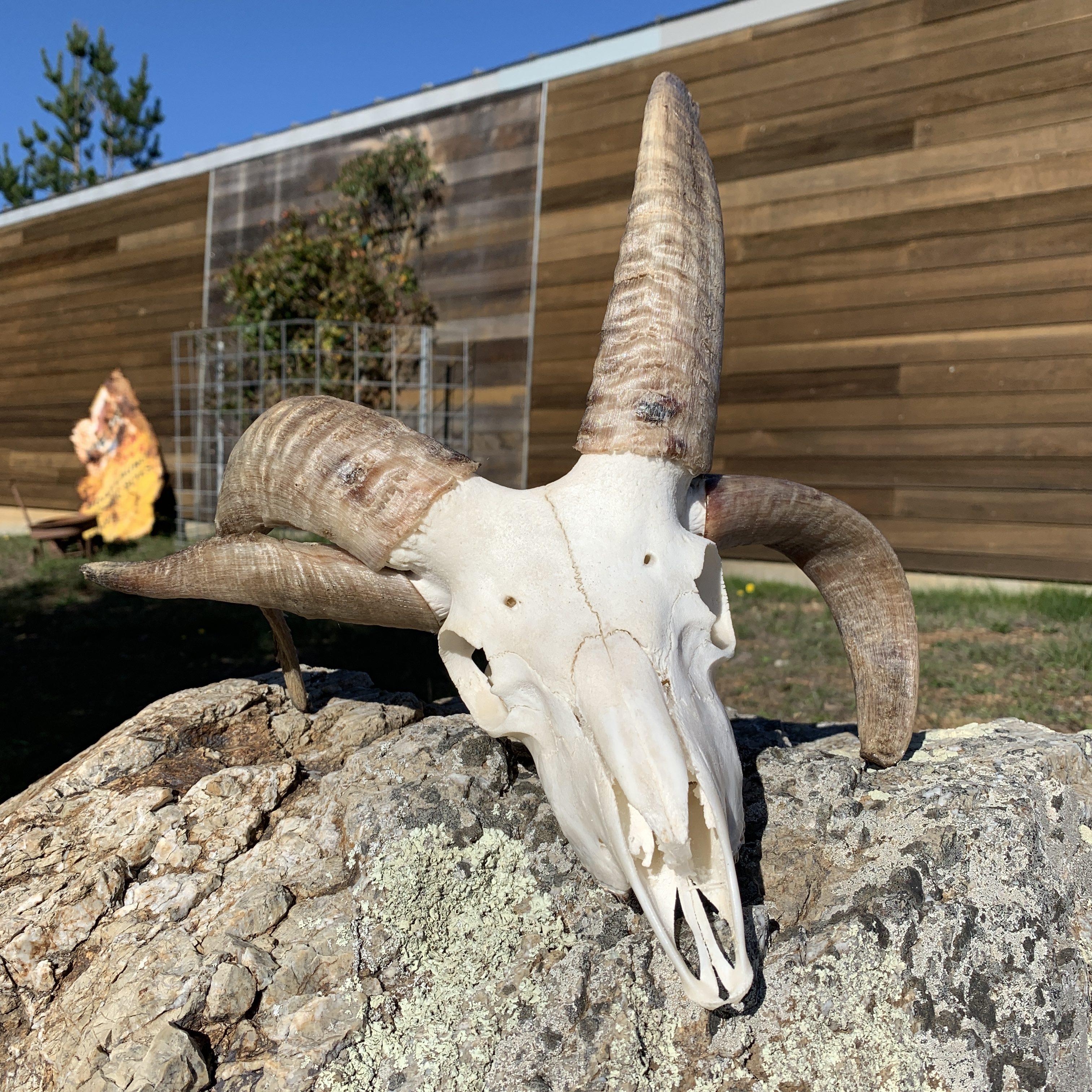 Ram Skull 103